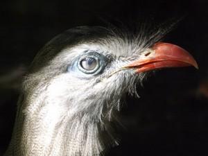 Rotfuß-Seriema (Vogelpark Olching)