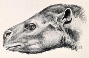Protapirus (Robert Bruce Horsfall)
