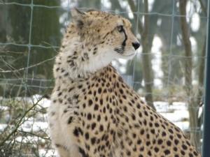 Südafrikanischer Gepard (Thüringer Zoopark)