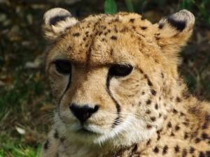 Südafrikanischer Gepard (Zoo Krefeld)