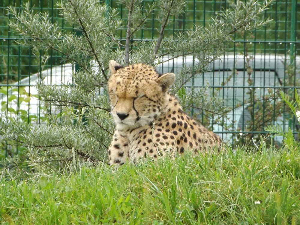 Sudan-Gepard (Zoo Plzen)