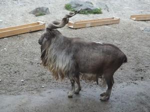 Schraubenziege (Zoo Augsburg)