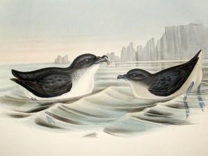 Lummensturmvogel (John Gould)