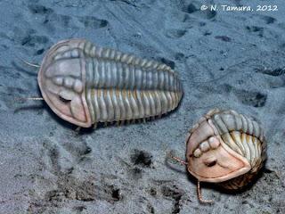 Calymene blumenbachii, ein Vertreter der Trilobiten (@ N.Tamura)