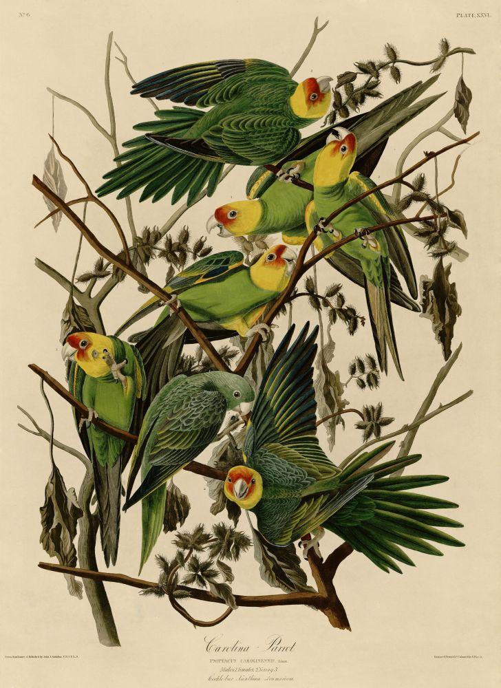 Karolinasittich (John James Audubon)