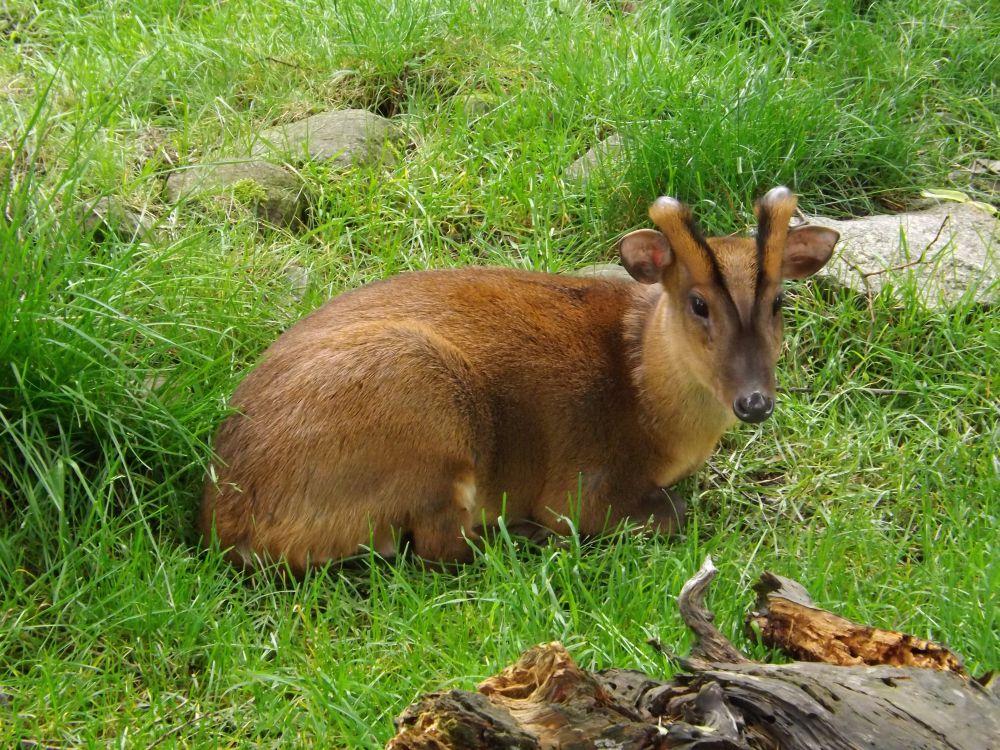 Chinesischer Muntjak (Naturschutz-Tierpark Görlitz)