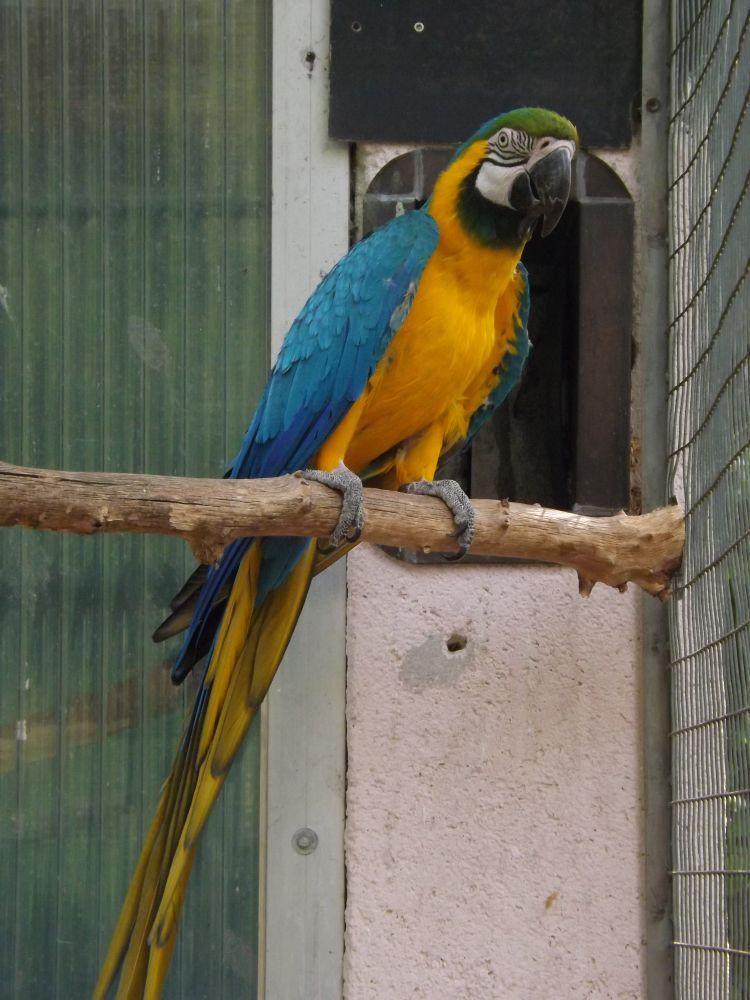 Gelbbrustara (Vogelpark Abensberg)