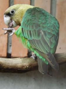 Kappapagei (Zoo Mulhouse)