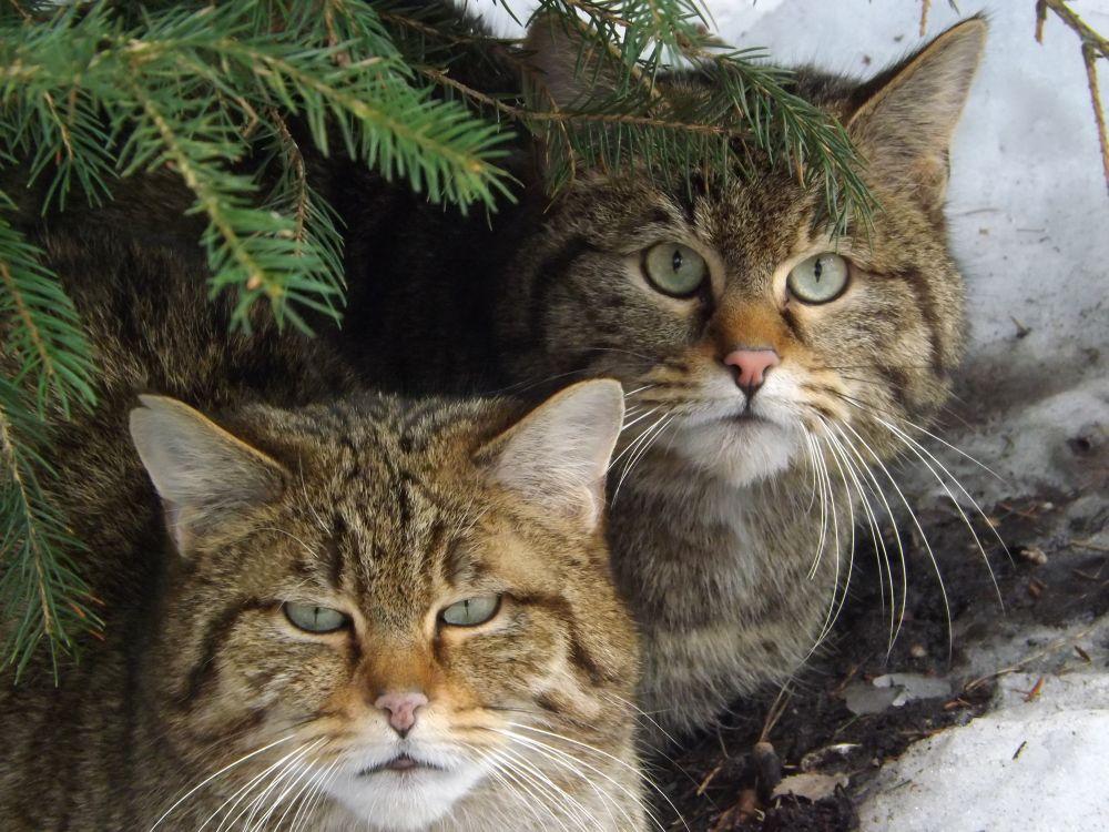 Europäische Wildkatze (Thüringer Waldzoo)