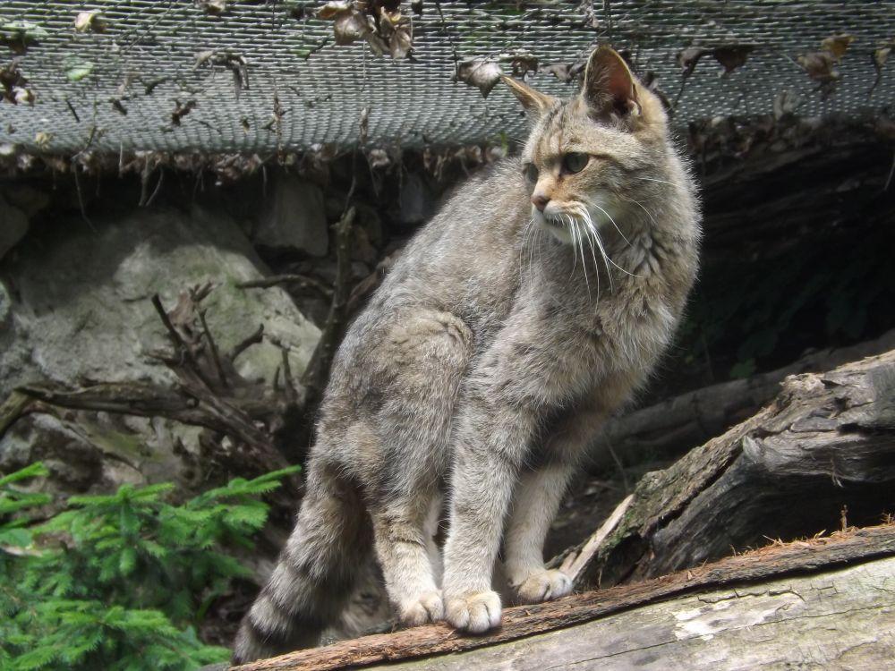 Europäische Wildkatze (Zoo Jihlava)