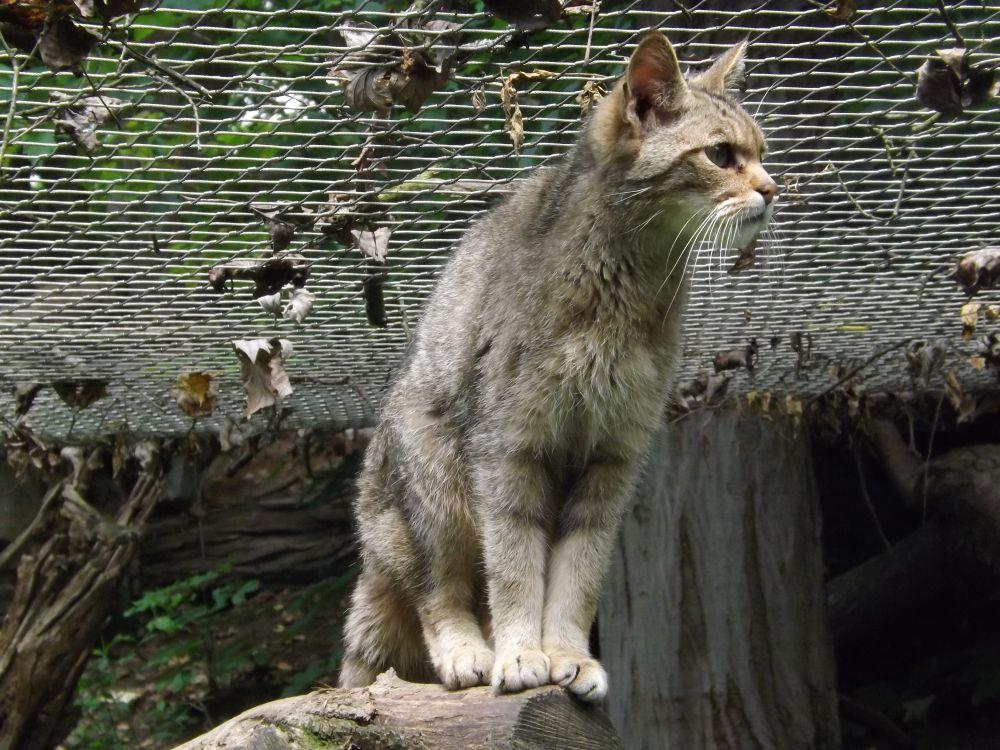 Eurpäische Wildkatze (Zoo Jihlava)