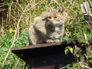 Europäische Wildkatze (Tierpark Suhl)