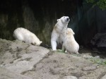 Eisbär (Zoo Brno)