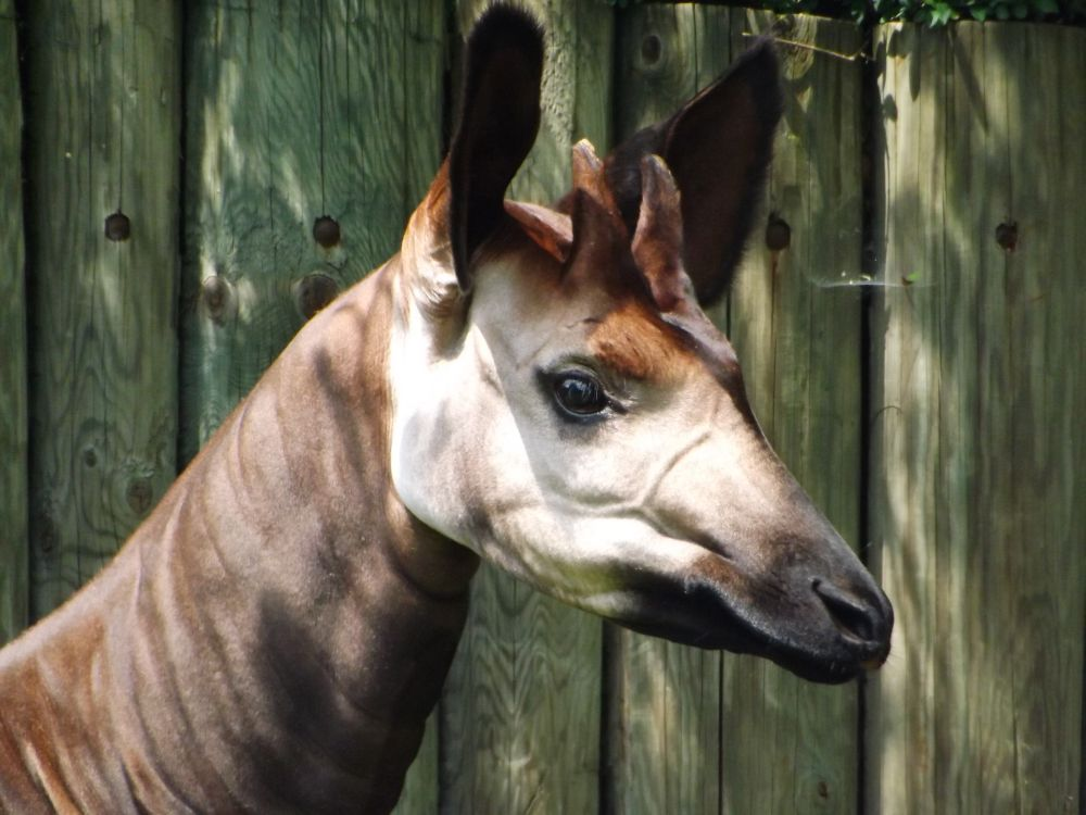 Okapi (Zoo Dvur Kralove)