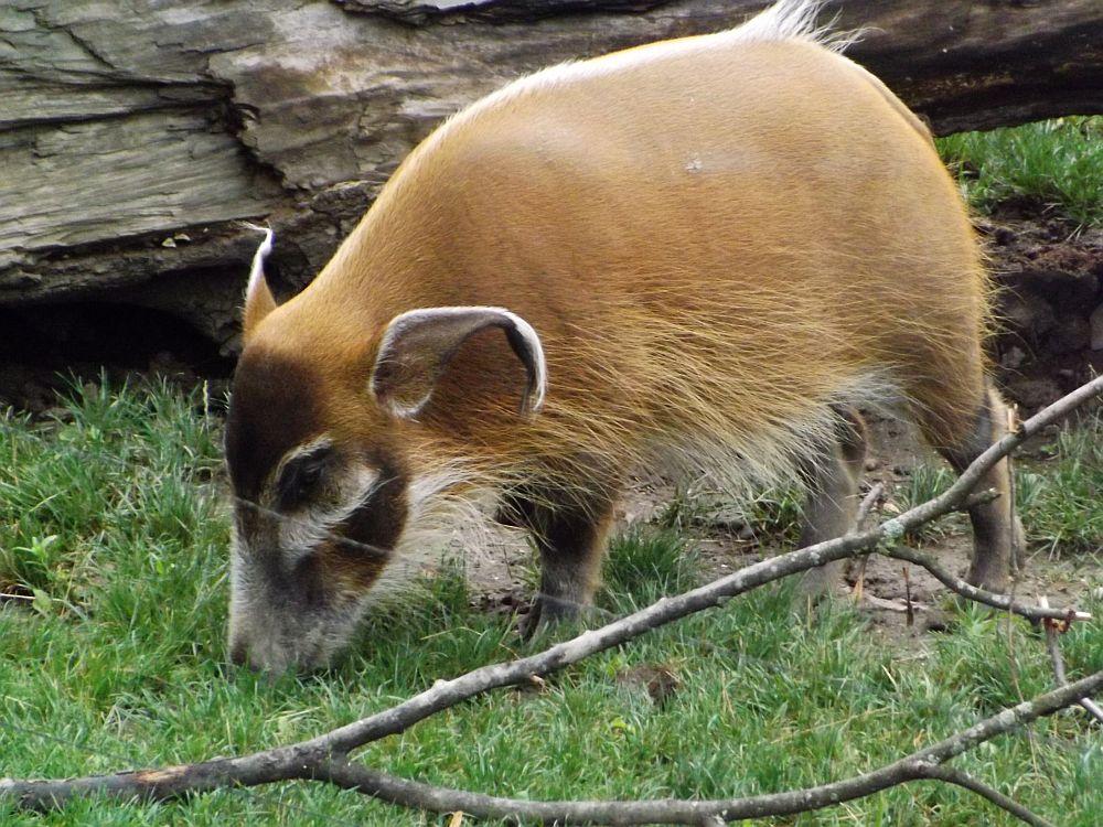 Pinselohrschwein (Zoo Salzburg)