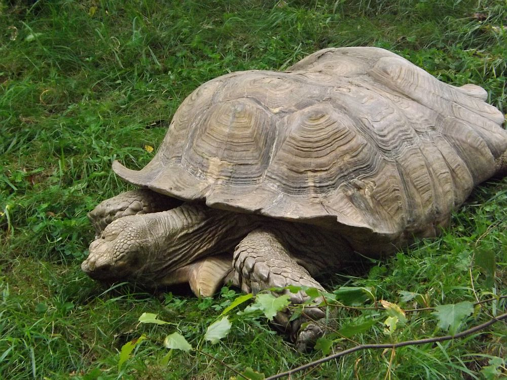 Spornschildkröte (Zoo Linz)