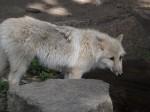 Wolf (Zoo Berlin)