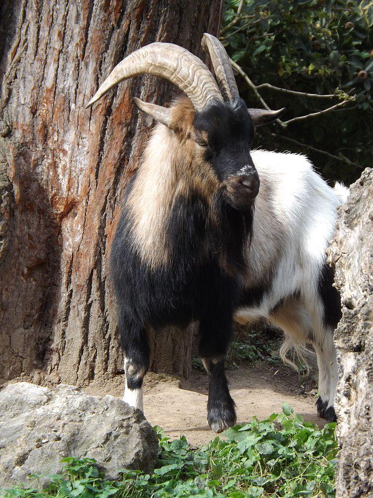 Zwergziege (Zoo Krefeld)