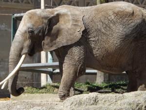 Afrikanischer Elefant (Zoo Basel)