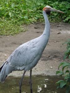 Brolgakranich (Weltvogelpark Walsrode)