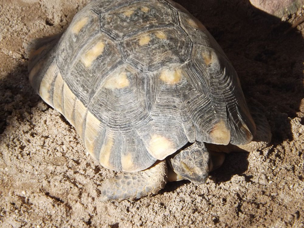 Griechische Landschildkröte (Wilhelma Stuttgart)