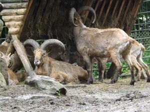 Ostkaukasischer Steinbock (Zoo Liberec)