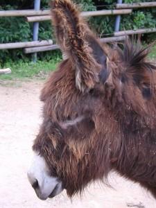 Poitou-Esel (Thüringer Zoopark)
