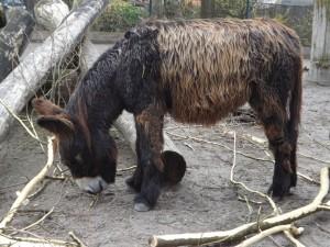 Poitou-Esel (Zoo Heidelberg)