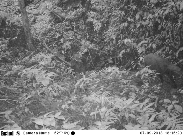 Saola, Kamerafalle (WWF)