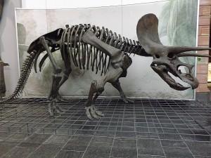 Triceratops (Senckenberg-Museum Frankfurt)