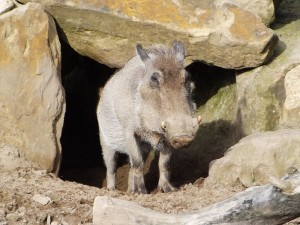 Warzenschwein (Zoo Osnabrück)
