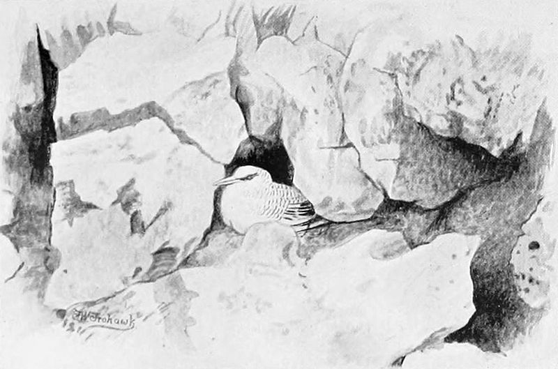 Rotschnabel-Tropikvogel (Frederick William Frohawk)