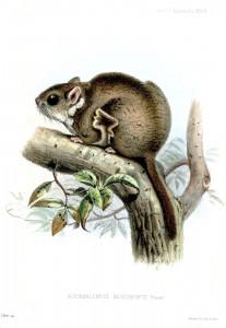 Beecrofts Dornschwanzhörnchen (Joseph Wolf)