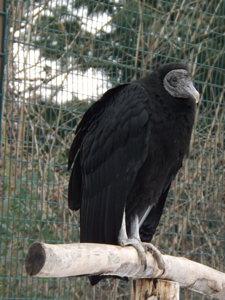 Rabengeier (Tierpark Dessau)