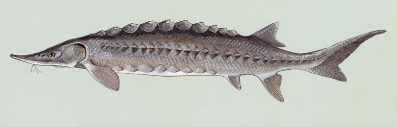 Atlantischer Stör (Duane Raver U.S. Fish and Wildlife Service)