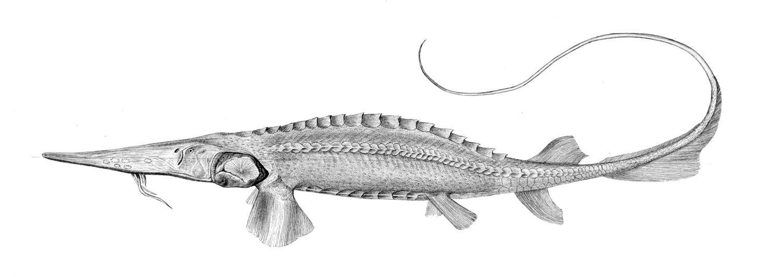 Syrdarja-Schaufelstör (Fishes of Turkestan)