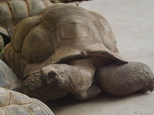 Aldabra-Schildkröte (Vivarium Darmstadt)