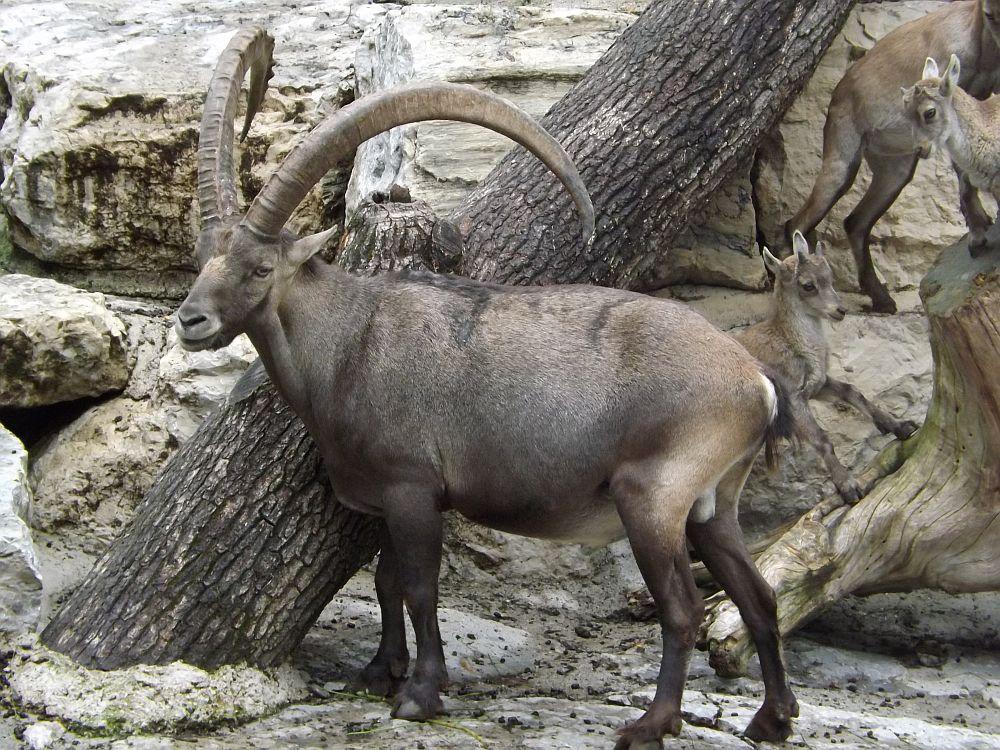 Alpensteinbock (Zoo Salzburg)