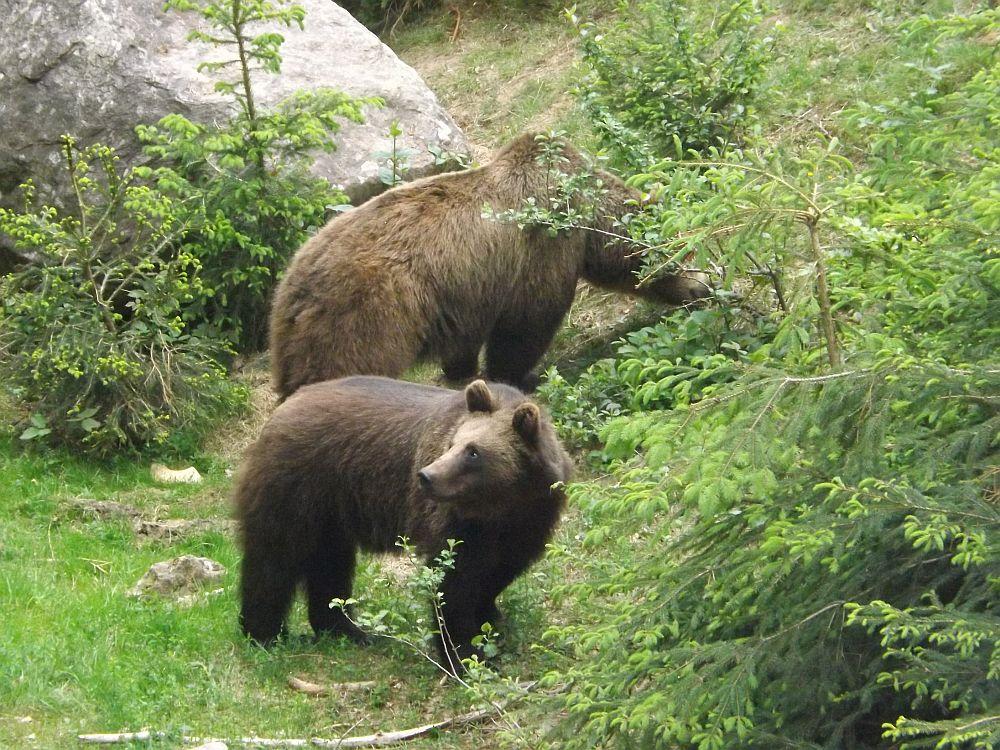 Braunbär (Tierfreigelände des Nationalparkzentrums Lusen)