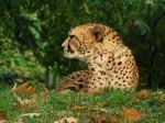 Gepard (Zoo Köln)