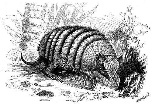 Neunbindengürteltier (Brehms Tierleben)