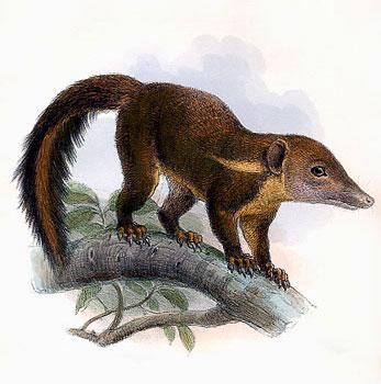 Rotschwanz-Spitzhörnchen (Joseph Wolf)
