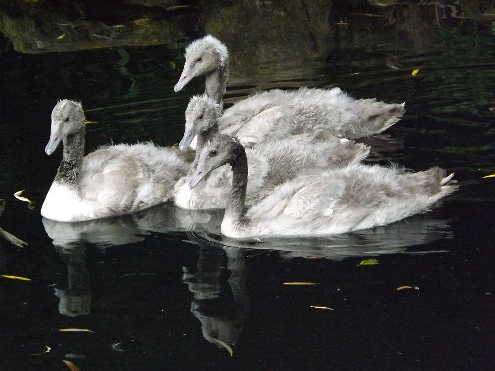 Schwarzhalsschwan, Jungtiere (Weltvogelpark Walsrode)