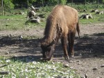 Wisent (Wildpark Poing)
