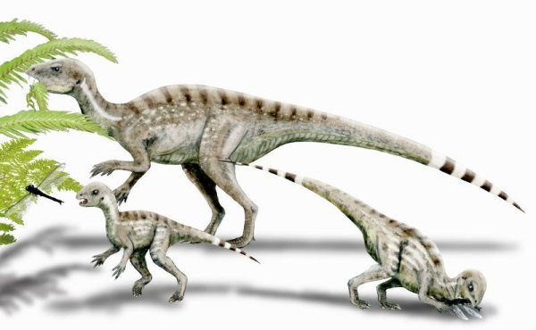 Heterodontosaurus tucki (© N. Tamura)