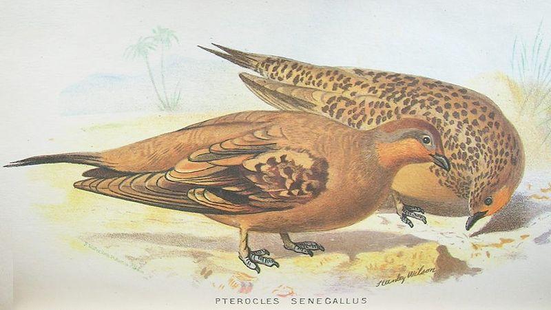 Senegalflughuhn (Hume and Marshall)