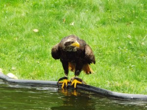 Seeadler (Vogelpark Abensberg)