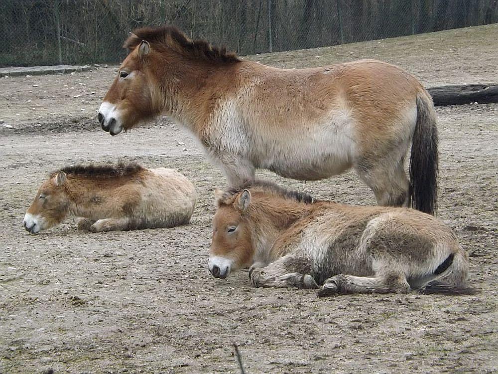 Przewalsi-Pferd (Tierpark Hellabrunn)