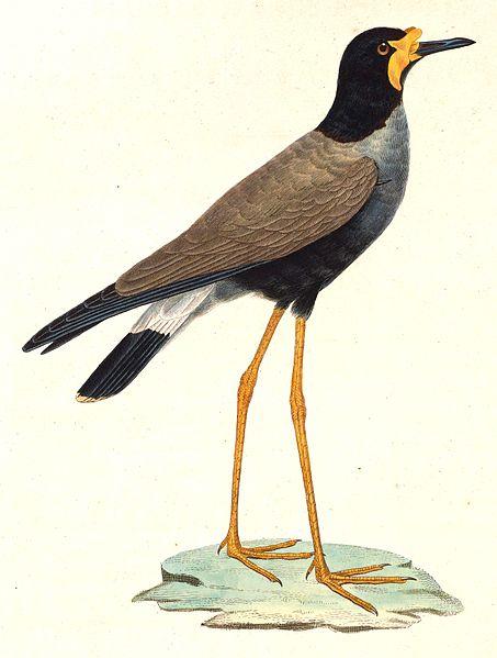 Java-Kiebitz (Nouveau recueil de planches coloriées d'oiseaux)