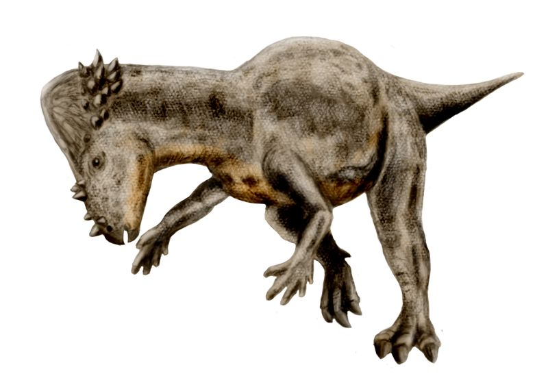 Pachycephalosaurus wyomingensis (© N. Tamura)